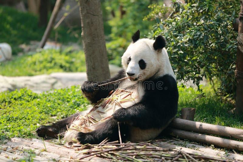 Panda avido immagini stock libere da diritti