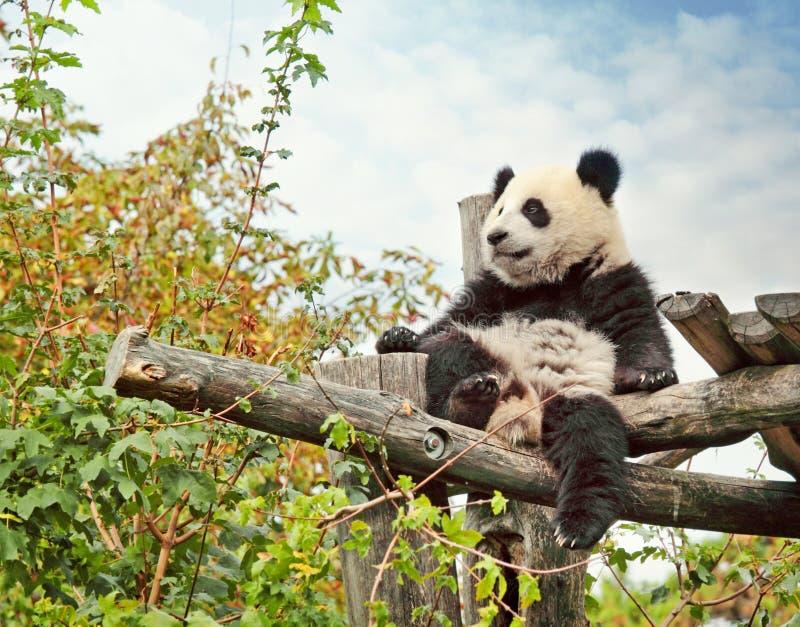 Panda bear royalty free stock photos