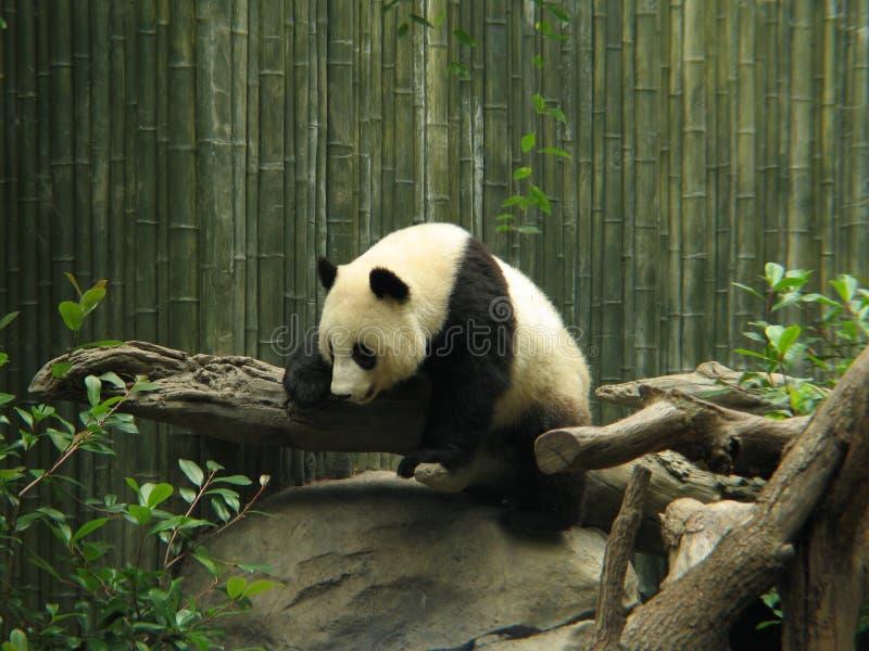 Panda Bear. Climbing a tree trunk