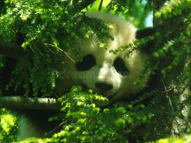 Panda Bear - Bao Bao - nationell zoo royaltyfria foton