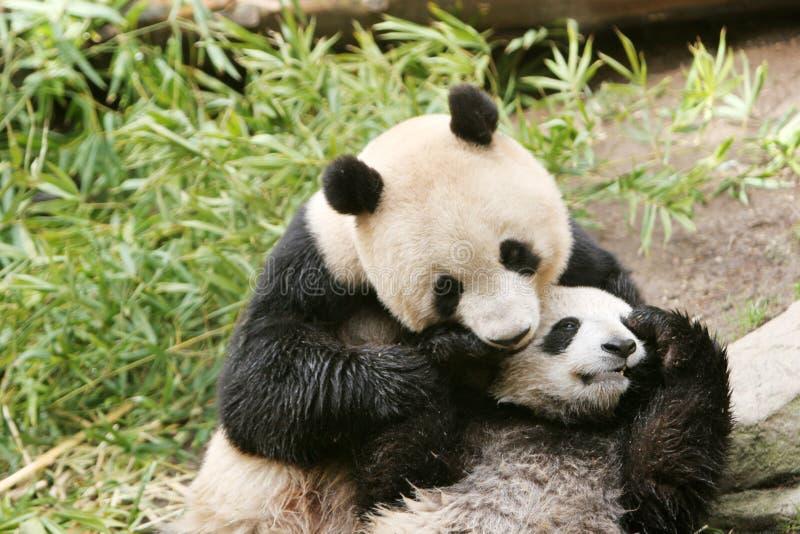 Panda bear and cub stock photo
