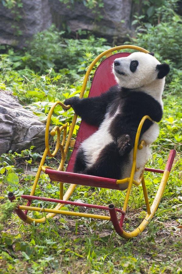 Panda Bear Cub, China Travel, Beijing Zoo stock image