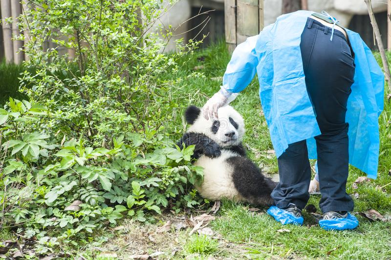Panda Bear Cub med sjuksköterskan, Panda Research Center Chengdu, Kina arkivfoto