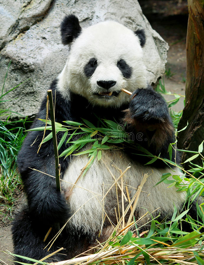 Panda bear eating. Panda bear sitting and eating leaves