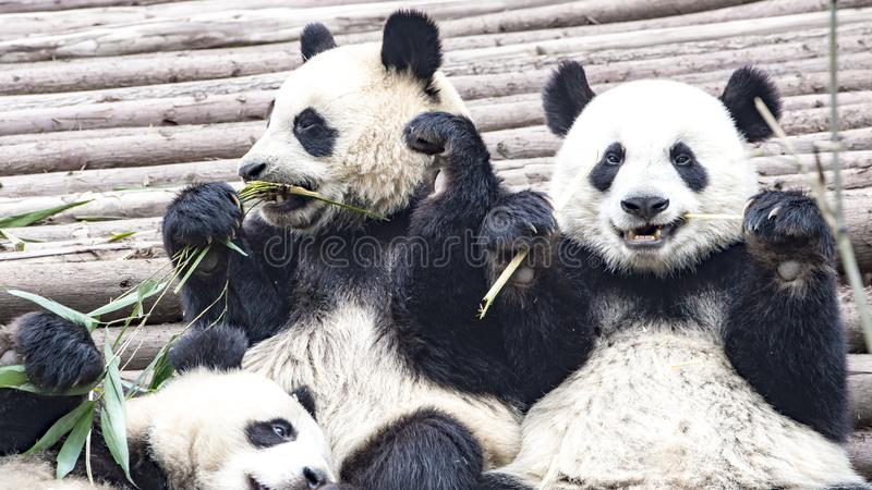 Panda Bear eating bamboo, Panda Research Center Chengdu, China. Giant Panda Bears in Panda Breeding Research Center, Chengdu, China royalty free stock photography