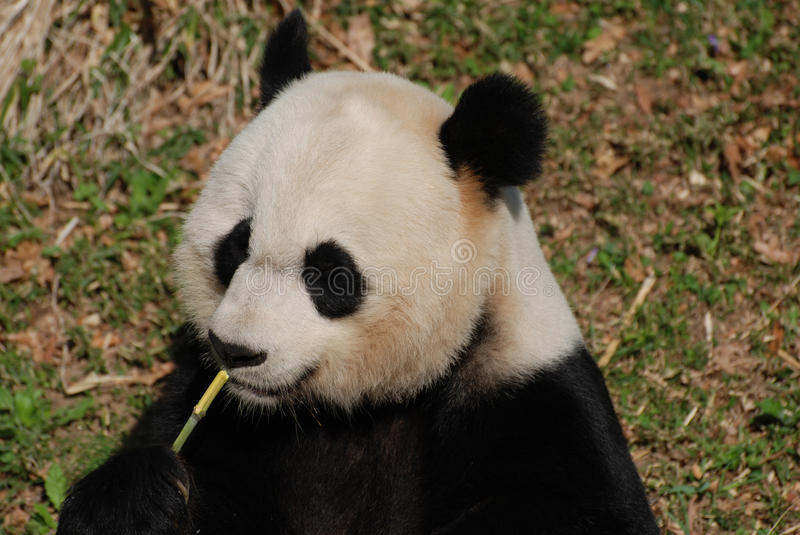 Panda Bear Eating Green Bamboo aimable tout en se reposant  images stock