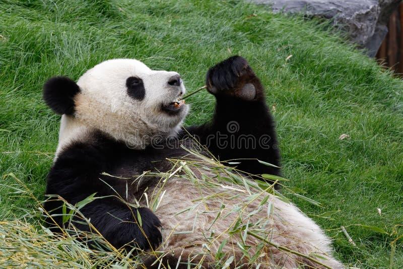 Panda bear eating royalty free stock photos