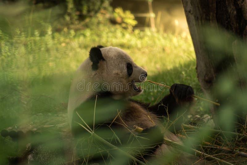 Panda Bear Eating photo libre de droits