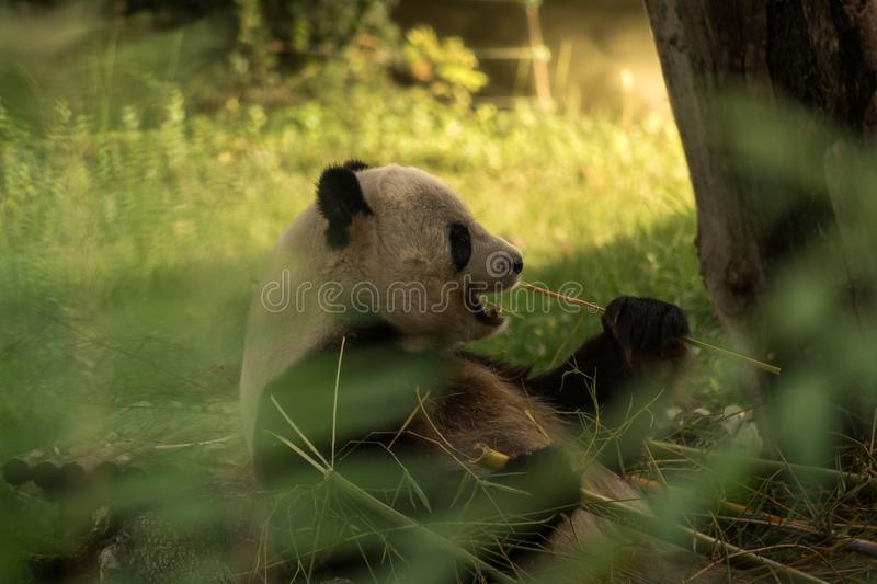 Panda Bear Eating foto de stock royalty free