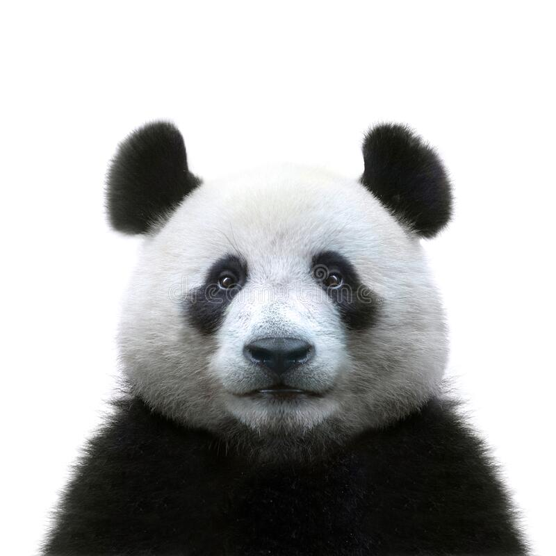 Free Panda Bear Face Isolated On White Background Stock Image - 185235781