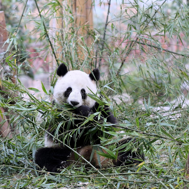 Panda Bear Feeding en bambú foto de archivo