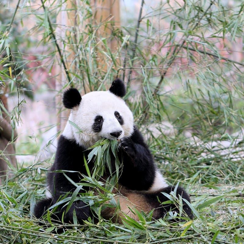 Panda Bear Feeding op Bamboe royalty-vrije stock afbeeldingen