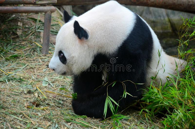 Panda bear looks into distance with lowered head. Singapore - July 11, 2016: A black and white panda bear with a slouched head looks into the distance inside her stock photos