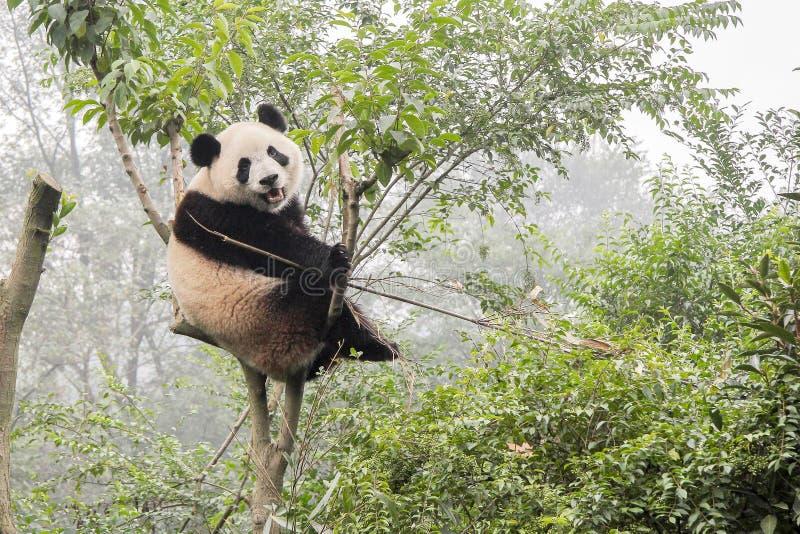 Panda Bear op Bamboeboom royalty-vrije stock afbeelding