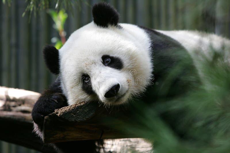 Panda Bear Relaxing photo libre de droits