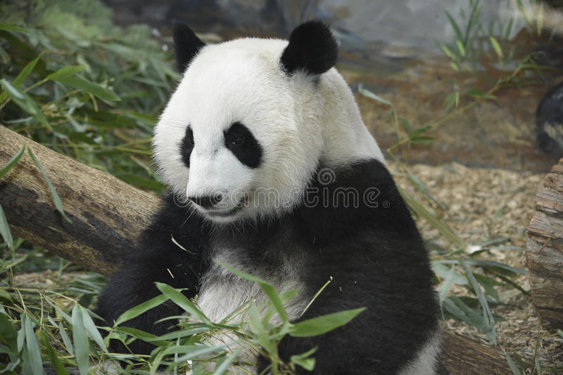 Panda bear sitting. This adult black and white panda bear sitting in his pile of bamboo with his ears perked up is looking very contented stock photo
