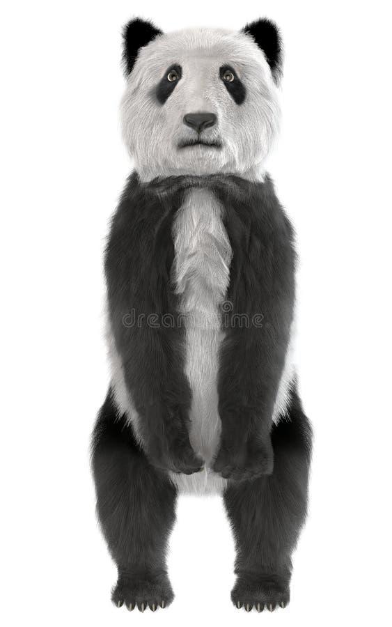 Panda bear standing stock illustration