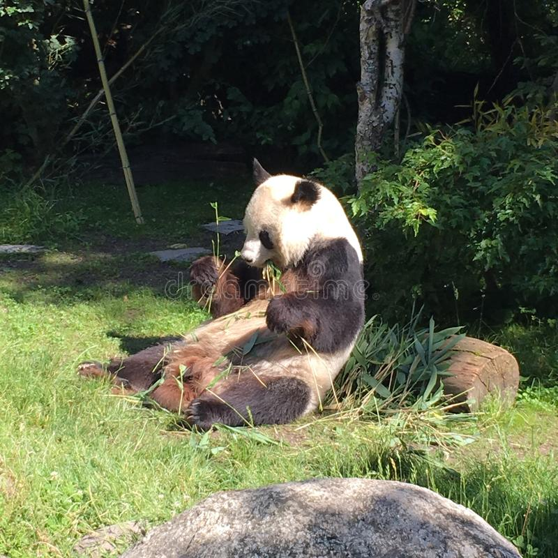 Panda Bear Zombie arkivbild