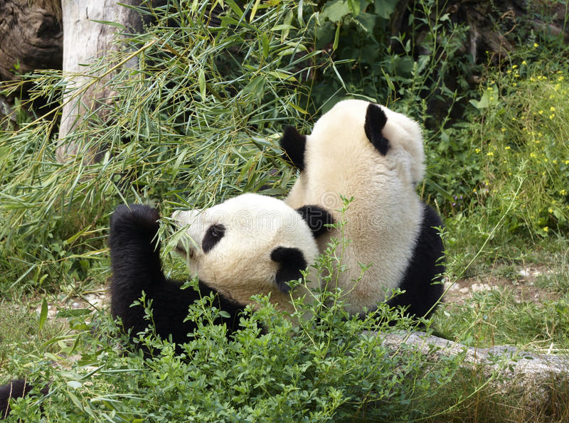 Download Panda bears stock image. Image of life, conservation - 12994987