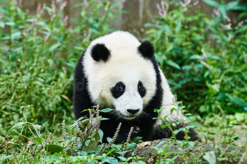 Panda bears cubs playing Sichuan China. One Panda bears cubs playing Bifengxia base reserve Sichuan China stock image