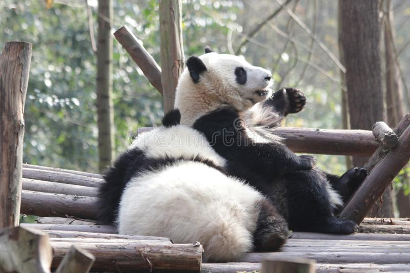 Panda Bears macio em Chengdu, China fotos de stock royalty free