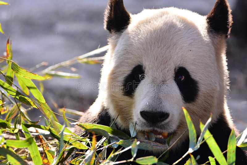 Panda bonito fotos de stock royalty free