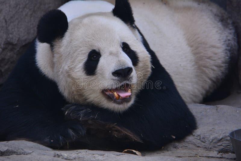 Panda bonito fotografia de stock