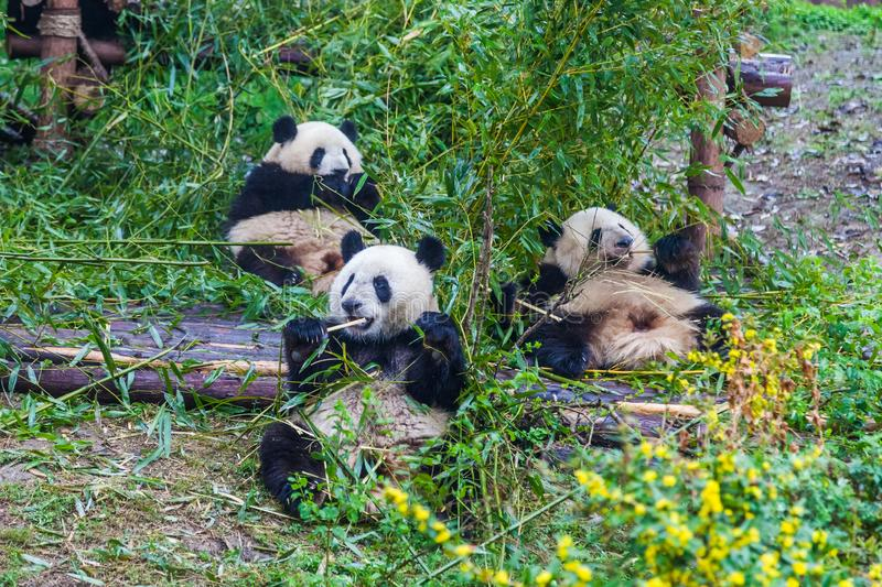 Panda Breeding Research Base gigante, Chengdu, China imagen de archivo
