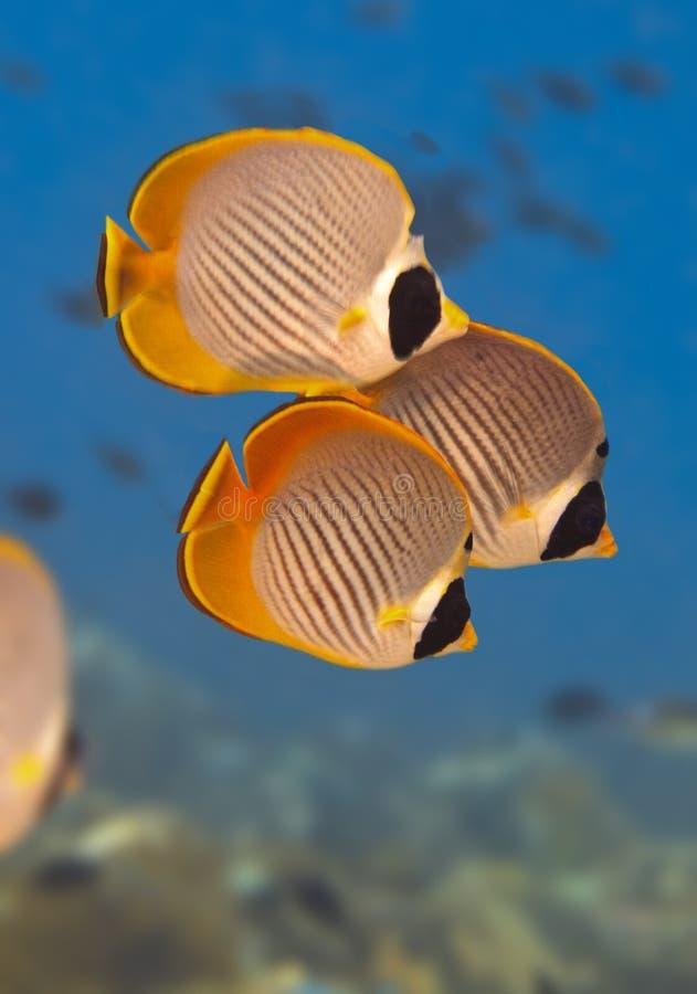 Panda butterflyfish royalty-vrije stock afbeelding