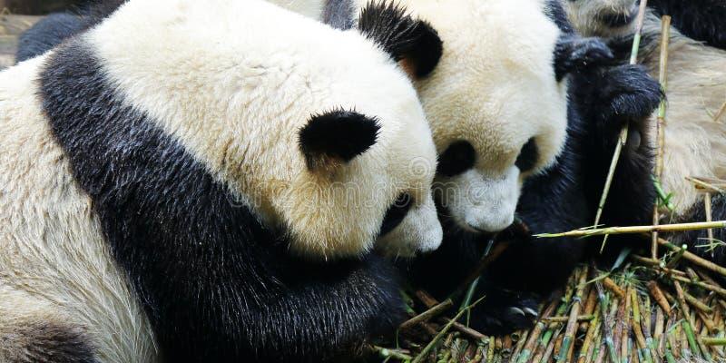 Panda che mangia bambù fotografie stock