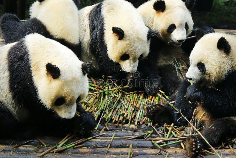 Panda che mangia bambù immagine stock
