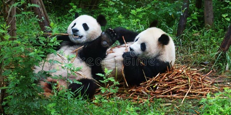 Panda che mangia bambù fotografia stock