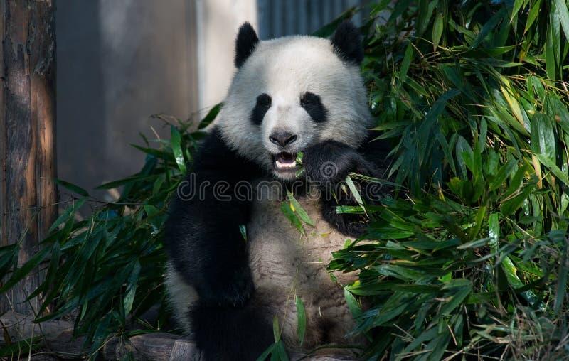 Panda in Chengdu, Sichuan, China royalty-vrije stock afbeelding