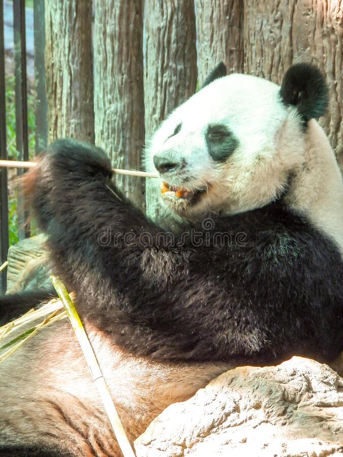 Panda in Chiang Mai Thailand. Images for commercial user.n royalty free stock photos