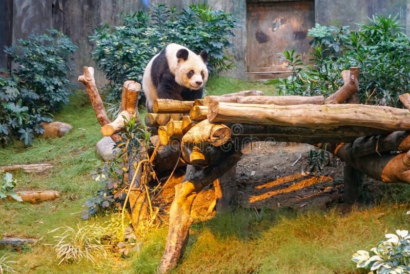 Panda china en el parque zoológico fotos de archivo
