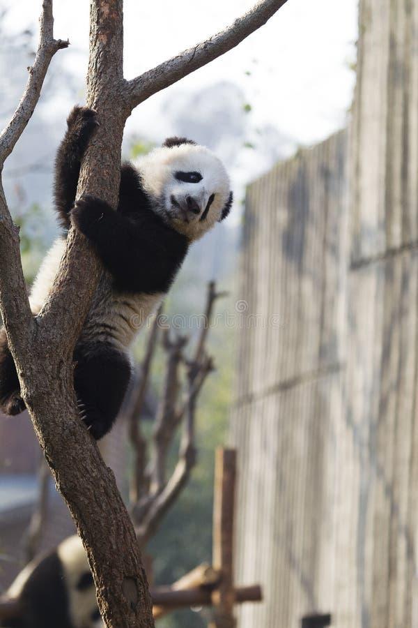 Panda Climbing foto de stock royalty free