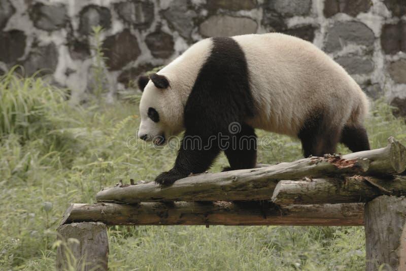 Panda Conservation Area, Chengdu royalty-vrije stock fotografie