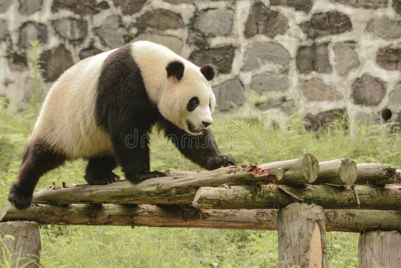 Panda Conservation Area, Chengdu stock foto