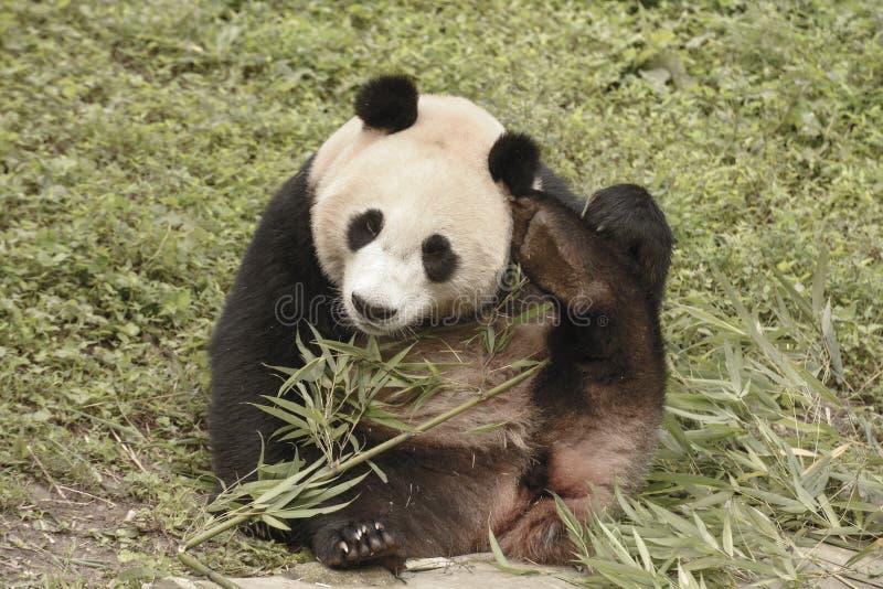 Panda Conservation Area, Chengdu royalty-vrije stock afbeelding