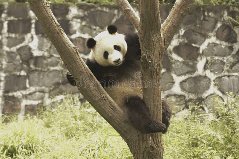 Panda Conservation Area, Chengdu stock afbeeldingen