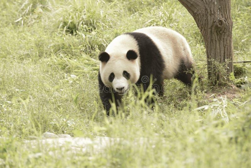 Panda Conservation Area, Chengdu stock foto's