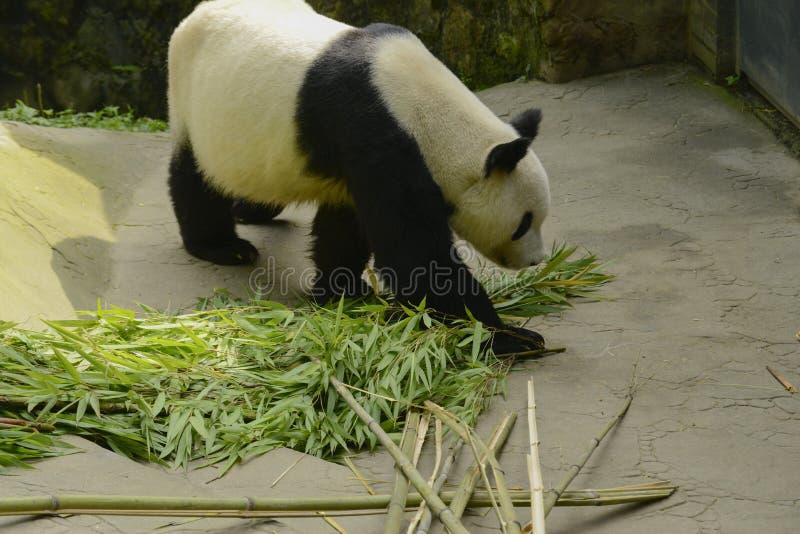 Panda Conservation Area, Chengdu royalty-vrije stock foto