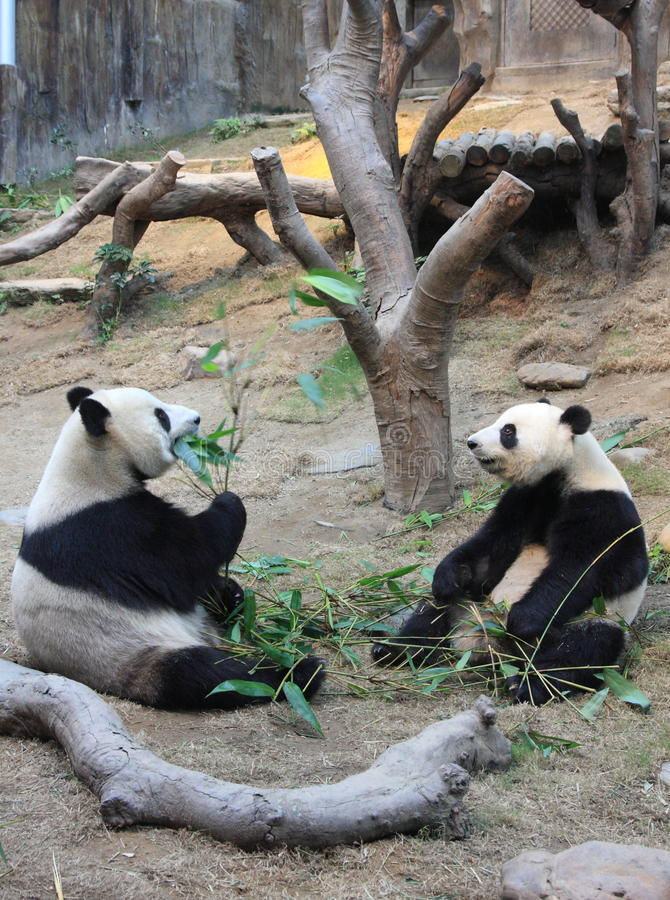 Panda couple looking at each other stock photo