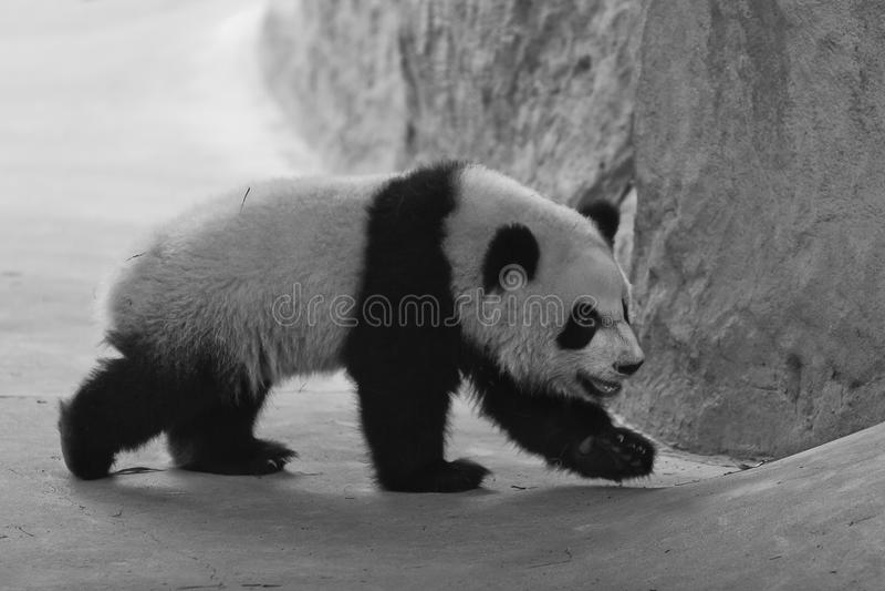 Panda Cub fotos de stock royalty free