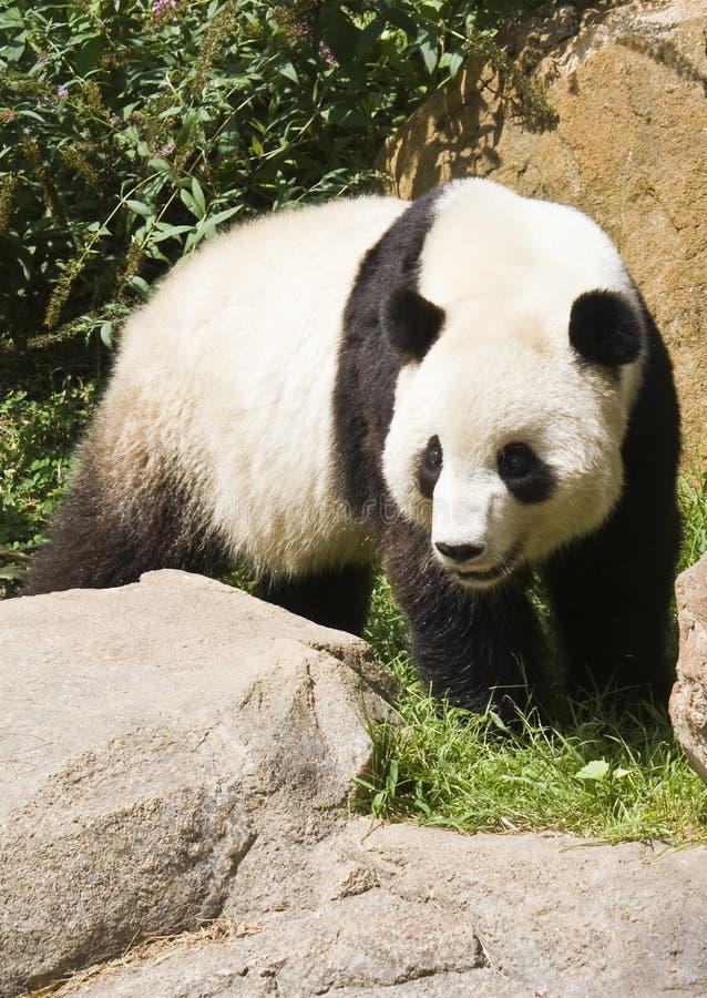Panda Cub fotografía de archivo