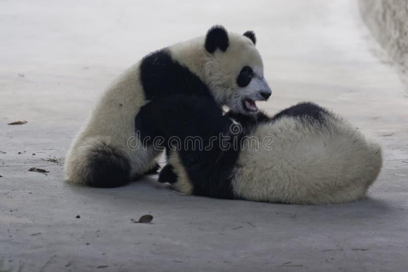 Panda Cubs fotografia de stock royalty free