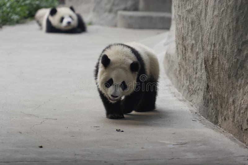 Panda Cubs imagens de stock royalty free