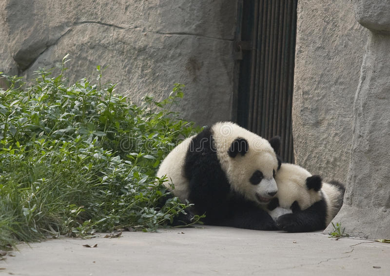 Panda Cubs imagens de stock