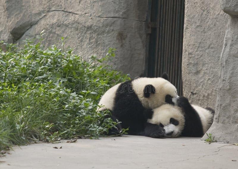 Panda Cubs foto de stock royalty free