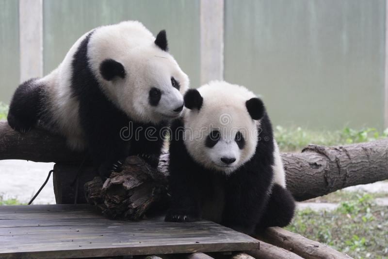Panda Cubs juguetón en Chongqing fotografía de archivo